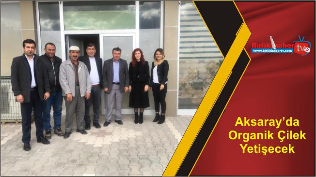 Aksaray'da Organik Çilek Yetişecek
